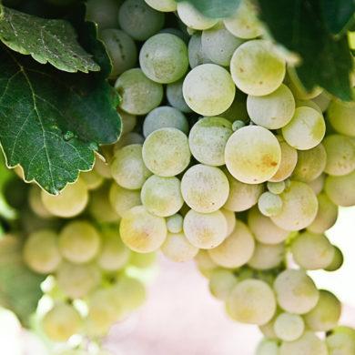 sommer und weissweine spanische rebsorten | Silkes Weinblatt