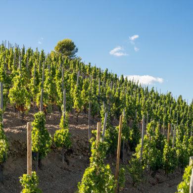 Die Garnacha überzeugt Weinkenner vom trockenen Rotwein bis hin zum komplexen Dessertbegleiter. Entdecken Sie Geschichte, Verbreitung und Aroma der edlen Rebe.