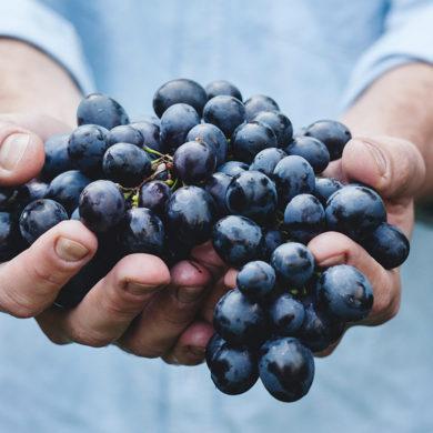 Wenn es um Spanischen Rotwein geht, steht die Rebsorte Tempranillo weit oben und steht für einen typischen Landes-Vertreter in der Weinwelt. Jetzt mehr erfahren!