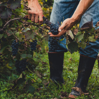 Die Kooperative Cantine San Marzano vereint das Knowhow vieler Winzer und ermöglicht die Produktion von Weinen, die schon einige Preise gewinnen konnten.