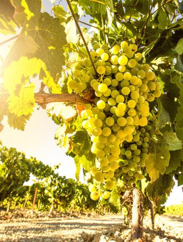 Was der Chardonnay für Frankreich oder der Airén für Spanien ist der Riesling für Deutschland. Seit über 600 Jahren begeistert die am Rhein enstandene Rebe.