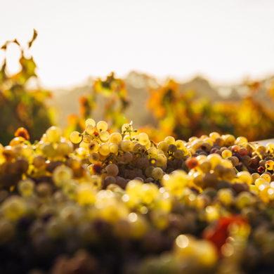 Wein für Katzen, das größte Weinfass der Welt oder die Todesstrafe auf Weintrinken? Lesen Sie in Silkes Weinblatt, welche Kuriositäten die Weinwelt bietet.