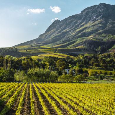 Stellenbosch in Südafrika ist ein fruchtbares und ergiebiges Weinbaugebiet. Die hier entstandene Rebsorte Pinotage begeistert Weinkenner auf der ganzen Welt.