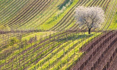 Weinberg im April | Silkes Weinblatt