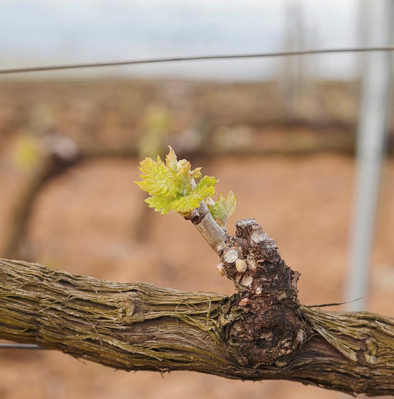 Im April steht der Boden des Weinbergs im Fokus des Winzers. Auflockerung und Düngung sind nur zwei Schlagworte, die im vierten Monat des Jahres auf der To-do-Liste stehen. Aber auch der Vertrieb und die Entwicklung länger reifender Tropfen darf nicht vergessen werden.