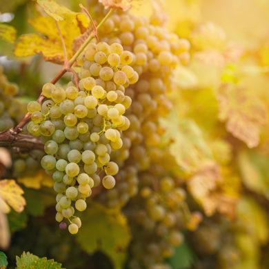 Widerstandsfähigkeit gegen Schädlinge, Frosthärte und Ertragsfähigkeit aber auch Aromatik und das Farbenspiel sind Gründe, neue Trauben entstehen zu lassen.