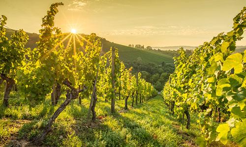 Weinberg im Juni | Silkes Weinblatt