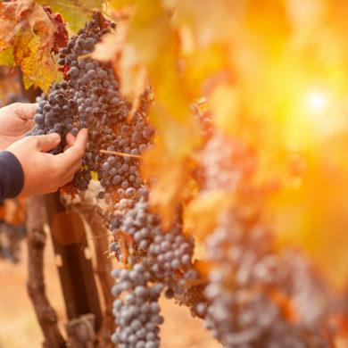 1917 wurde Vinicola del Priorat als Kooperative gegründet. Über 140 Partner bringen die besten Trauben aus ihren rund 120 Hektar Land in die Kellereien.