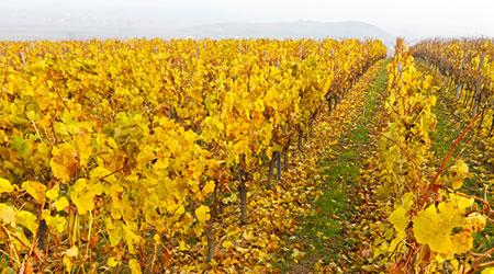 Winzerjahr Oktober 2 | Silkes Weinblatt