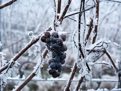Winzer im Dezember Eiswein | Silkes Weinblatt