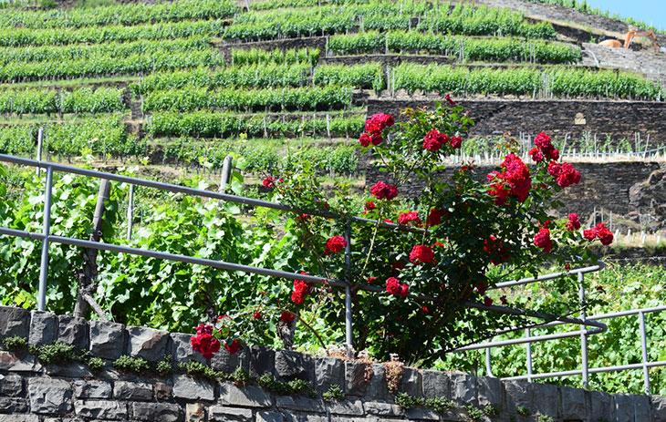 Rosenstrauch vor einem Weinberg
