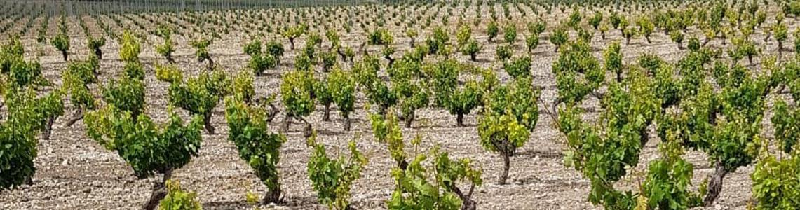 Weinreben in der Region Ribera del Duero