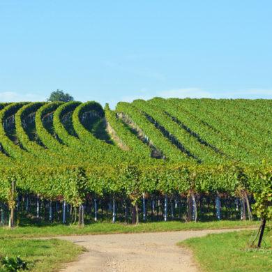 Dass das Weinbaugebiet Bergstraße so klein ist, liegt daran, dass es 1971 zu einer Teilung kam. Genauere Infos und weiteres Wissenswertes zum Thema finden Sie hier.
