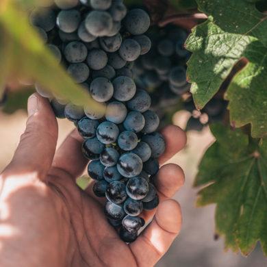 Längst nicht nur das Piemont schenkt dem Weingut beste Trauben, sondern inzwischen auch Apulien und die Toskana. Grund genug, Bollina einmal näher zu betrachten.