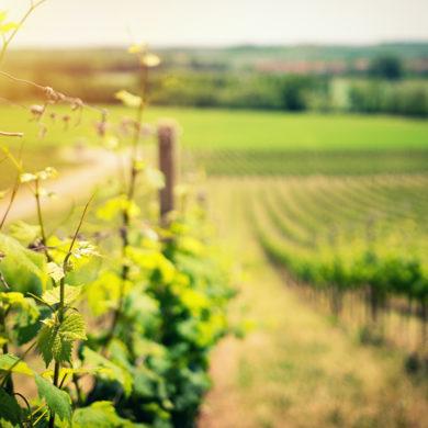 """Was gilt es zu beachten, wenn ein Weingut mit einem """"Großen Gewächs"""" einen offiziell klassifizierten Spitzenwein auf den Markt bringen will?"""