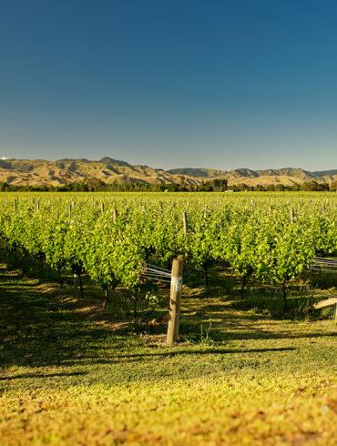 Zu verdanken ist die Etablierung neuseeländischen Weins ganz besonders dem eher jungen Anbaugebiet Marlborough. Niemals fehlen darf hier der Sauvignon Blanc.