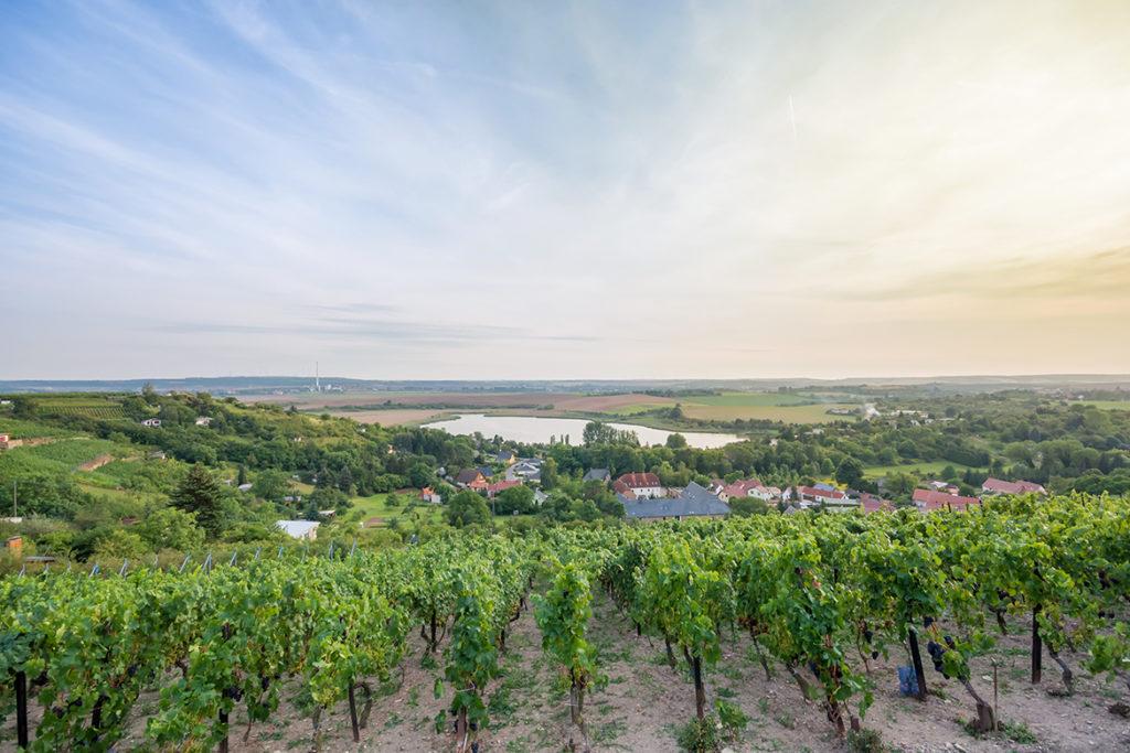"""Wer zur richtigen Zeit auf der Weinstraße Saale-Unstrut oder den Weinrouten """"Mansfelder Seen"""" und """"Weiße Elster"""" wandert, kann Zeuge des Aufwands werden, den die Winzer betreiben."""