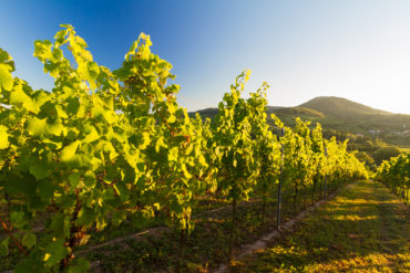 Merlot, Kerner und Regent – für Pfälzer Winzer sind diese Rebsorten keine Fremdwörter. Lernen Sie eine der wichtigsten Weinbauregionen Deutschlands kennen.
