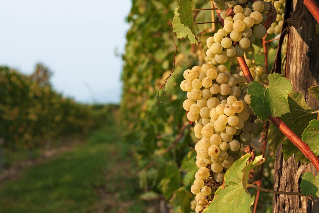 Grüne Trauben am Rebstock in der Nähe des Gardasees | Silkes Weinkeller