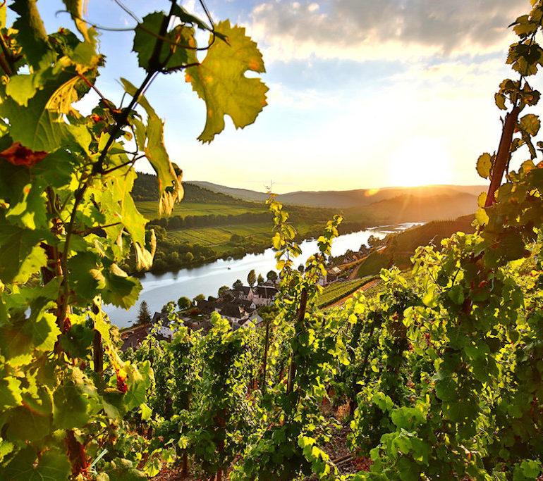 mosel rebsorten und weine 1155x770 | Silkes Weinblatt