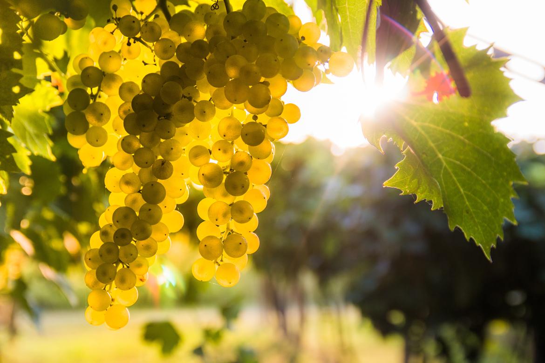 Weißwein: Grüne Trauben an begrüntem Rebstock | Silkes Weinkeller