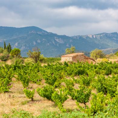 Weinreben in Languedoc-Roussillon | Silkes Weinkeller