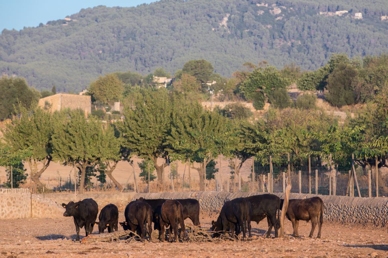 Äsende Rinder in der Nähe der Bodega Son Mayol   Silkes Weinkeller