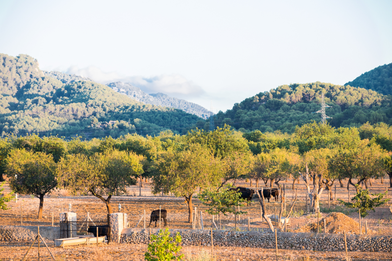 Blick von der Bodega Son Mayol auf Rinder zwischen Bäumen   Silkes Weinkeller