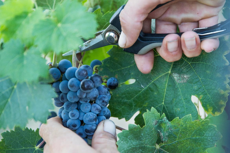 Traubenernte bei Bodega Son Mayol | Silkes Weinkeller