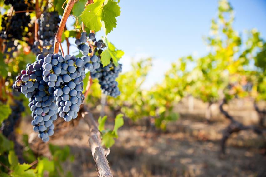 Reife blaue Weintrauben an einer frischen Rebe im Weinberg