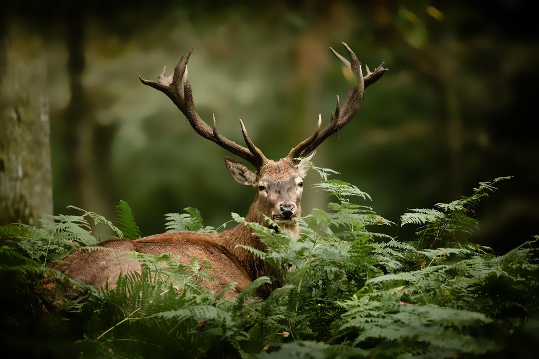 Ein Hirsch im Wald   Silkes Weinkeller