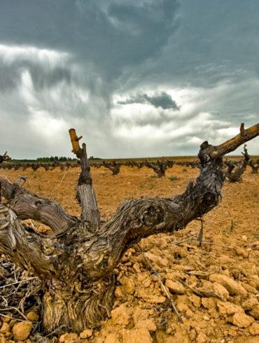 Rebe auf Kalk-Lehm-Boden in Ribera del Duero - Silkes Weinkeller