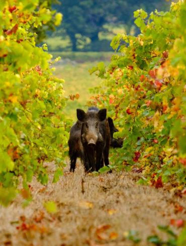 Wildschrein zwischen den herbstlichen Blättern von Weinreben   Silkes Weinkeller