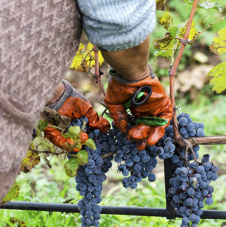 Arbeiter schneidet blaue Trauben von Rebe - Silkes Weinkeller