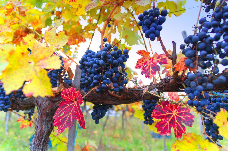 Blaue Trauben an Rebe - Silkes Weinkeller