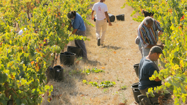 Arbeiter beim Ernten von Weintrauben