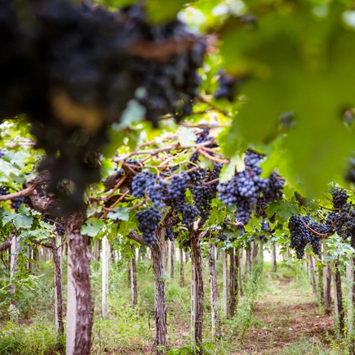 Weinreben mit lila Trauben