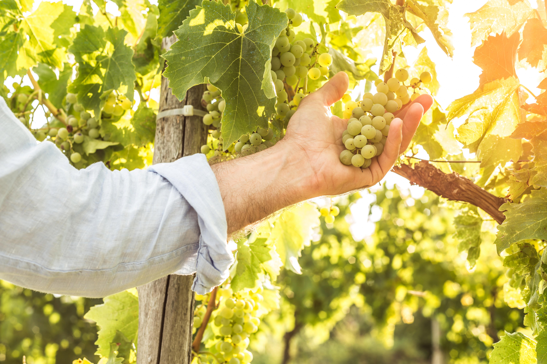Hand hält weiße Weinreben fest