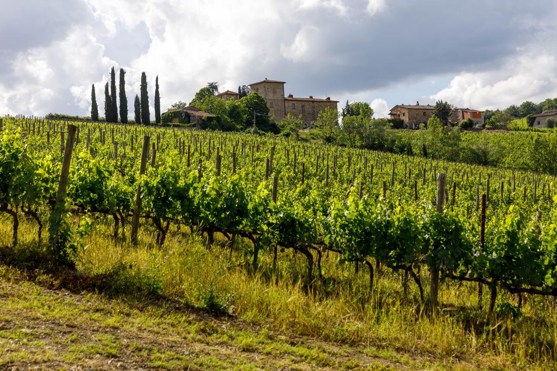 Feld mit Weinreben