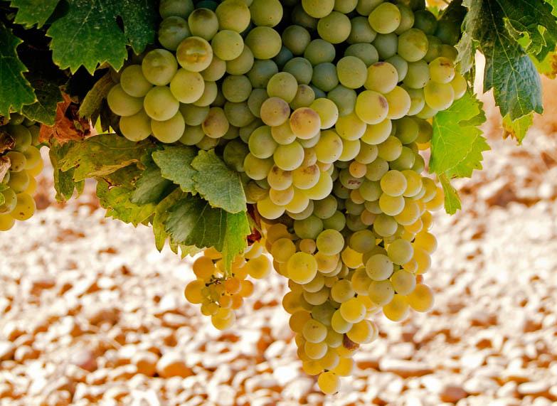 verdejo weisswein rebsorte | Silkes Weinblatt