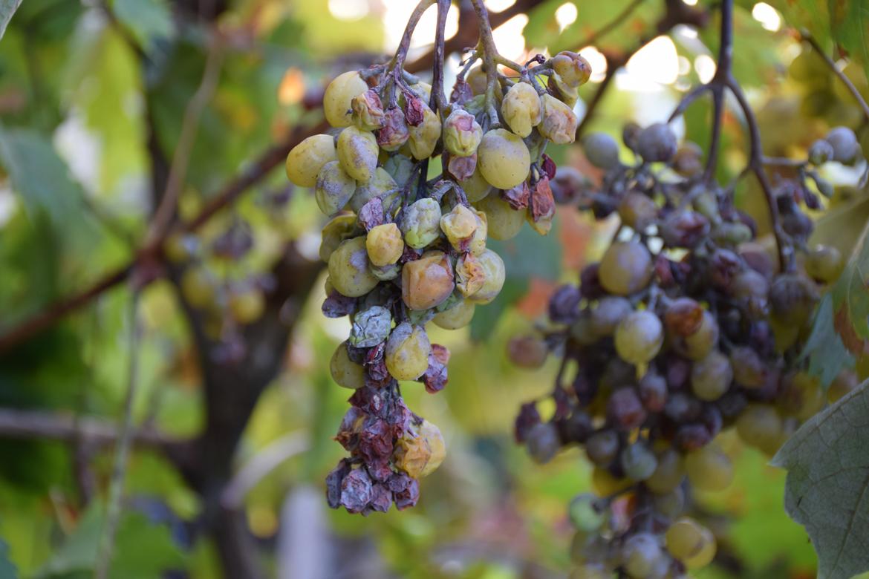 Weintrauben mit Pilz befallen