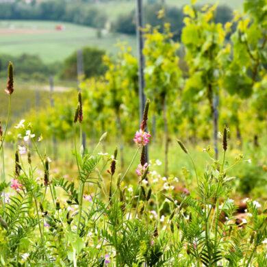 Weinberg mit Feldern im Hintergrund